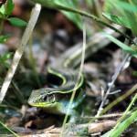 plated-lizard