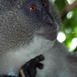 samango-monkey